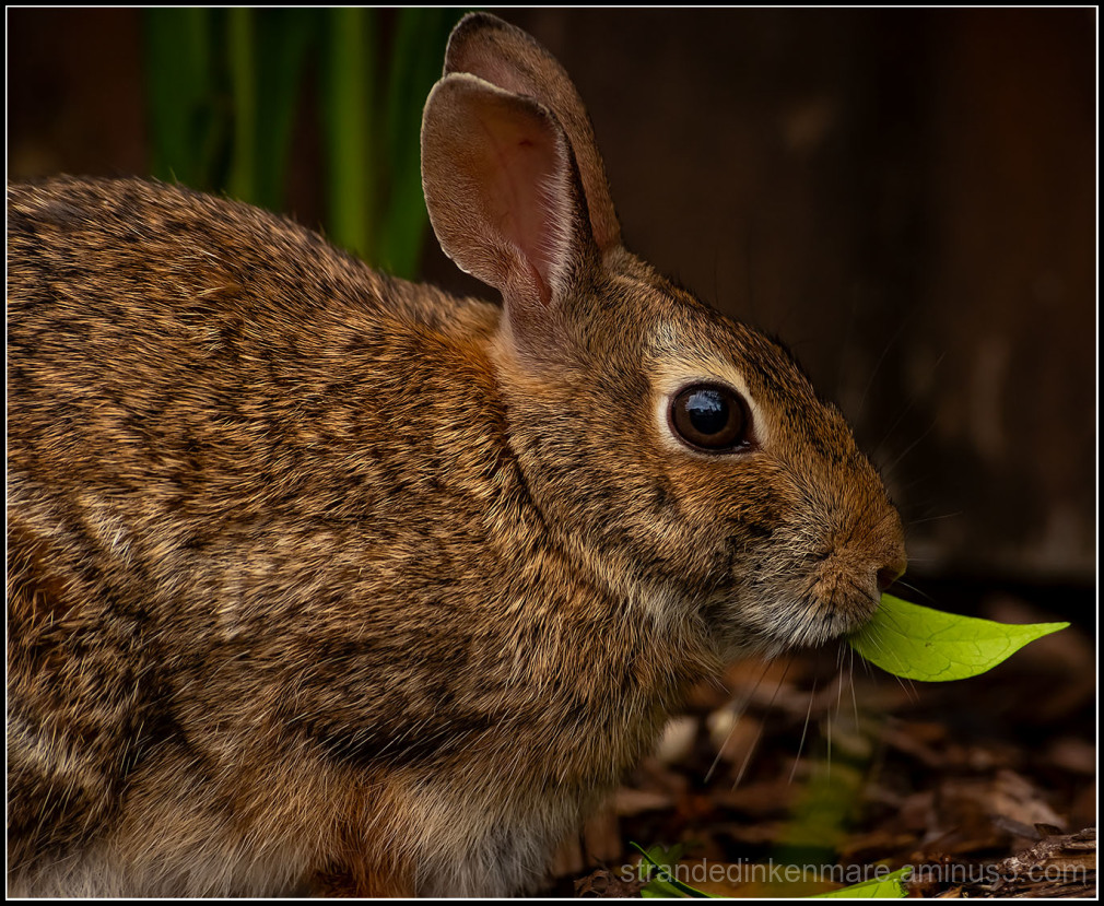 rabid the rabbit