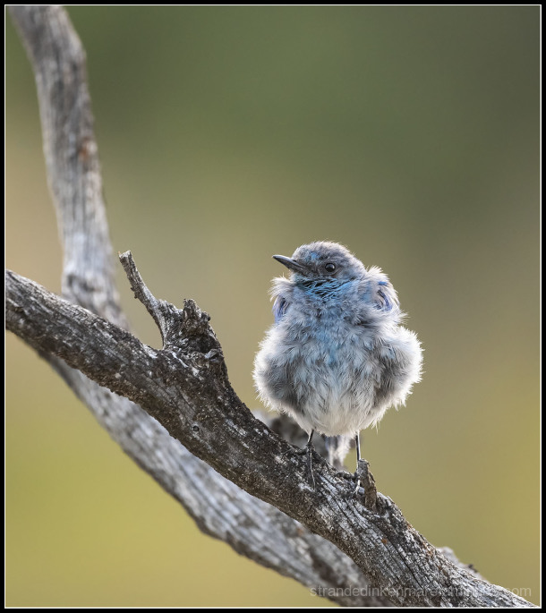 Mountain Bluebird fledgling at Mammoth Hot Spring