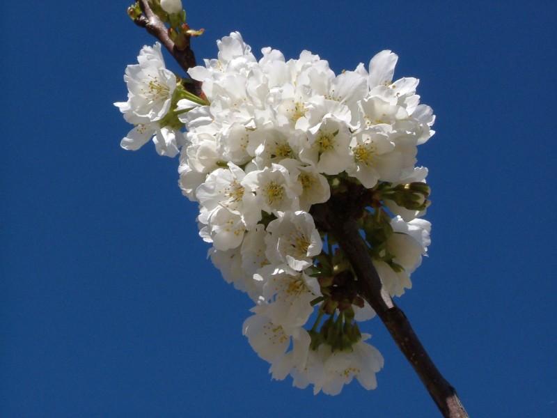 cerezo en flor 5