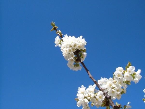 cerezo en flor 4