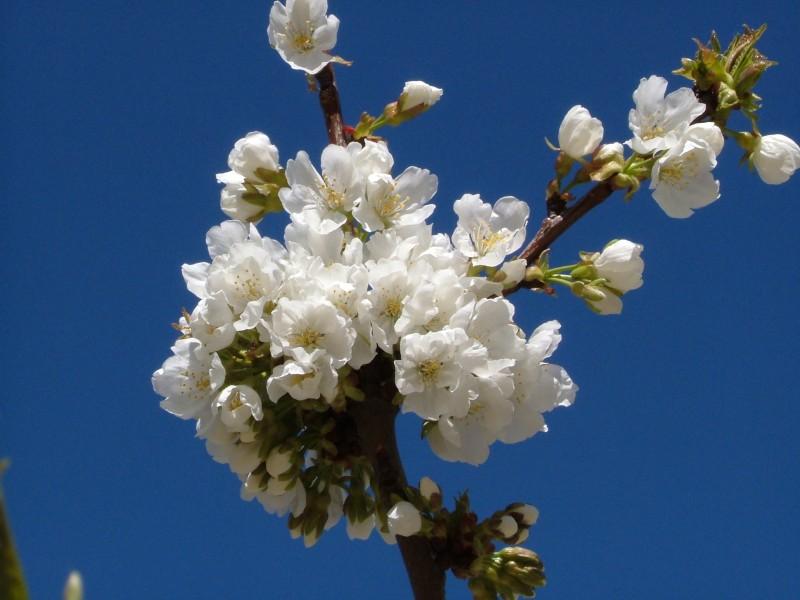 cerezo en flor 3