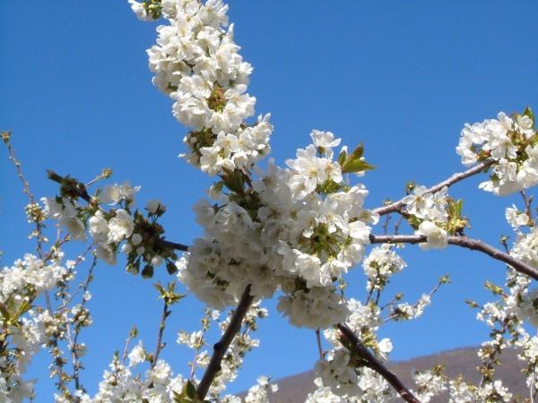 cerezo en flor 2