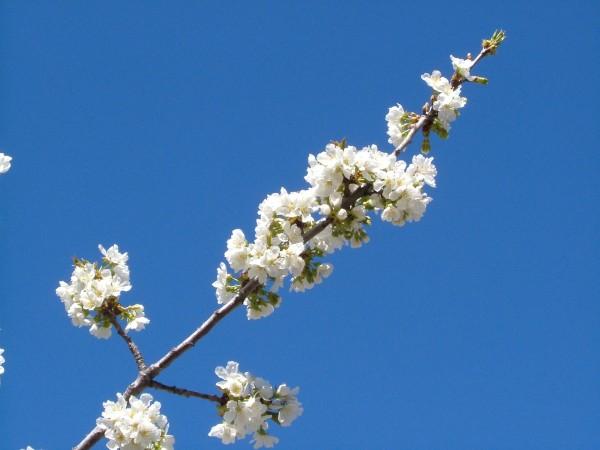 cerezo en flor 1