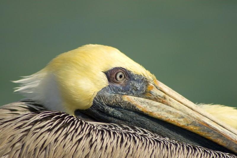 Pelican up close
