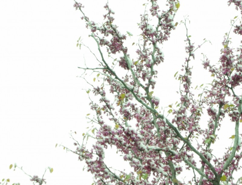 spring snow02