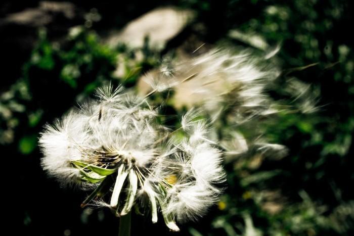 [ dandelion monography ] 02