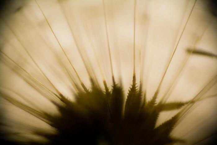 [ dandelion monography ] 03