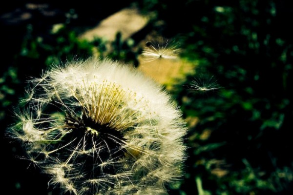 [ dandelion monography ] 06