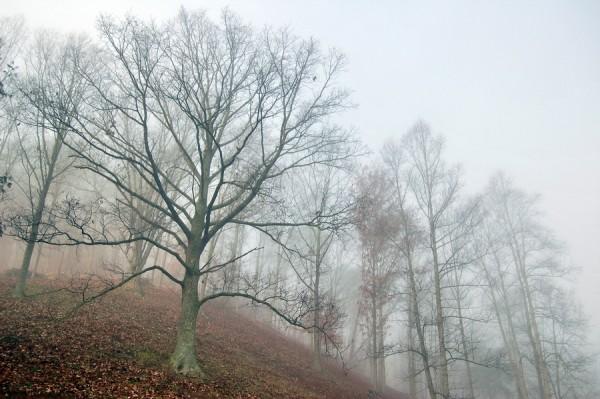Old Oak Tree on a Foggy Morning