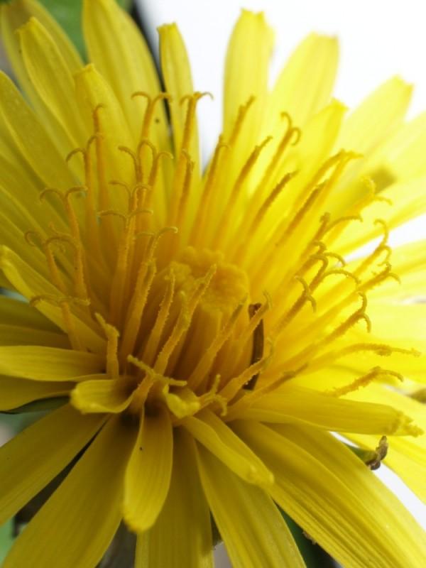 Dandelion #3