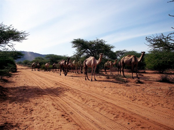 A group of camels slowls moves down a dusty road.
