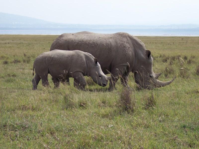 Two rhinos graze in a field.
