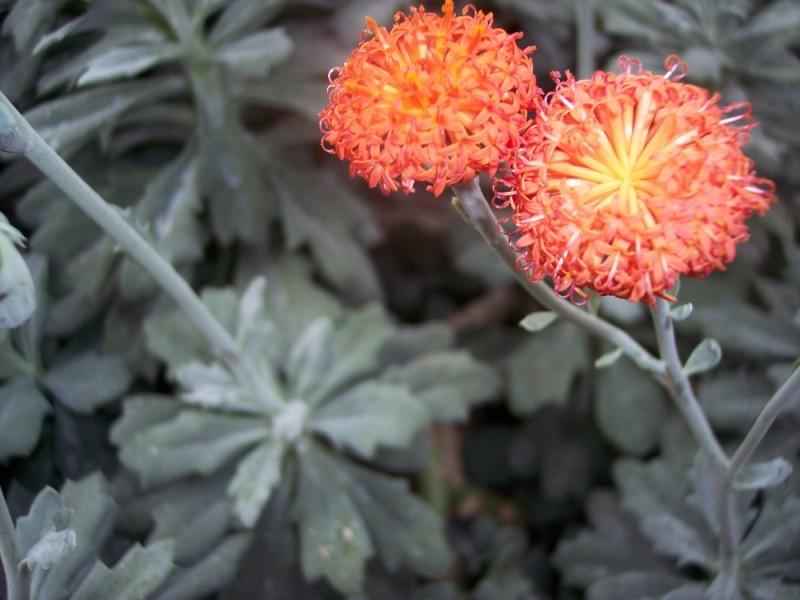 A pair of beautiful, orange flower.