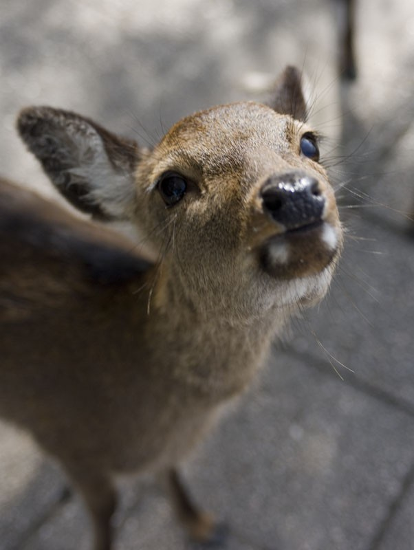 A deer on Miyajima begging.