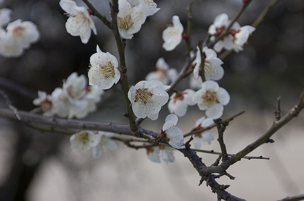 Plum blossoms at the Peace Park.