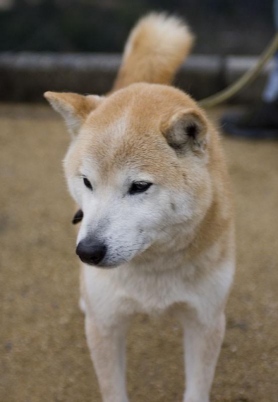 A Japanese dog.
