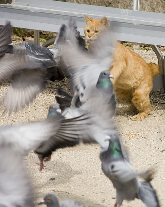 A cat trying to catch pigeons.