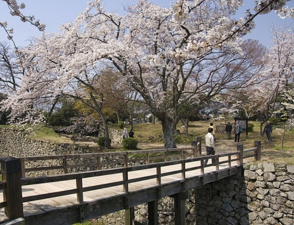 A cherry tree and bridge at Hikone Jo.