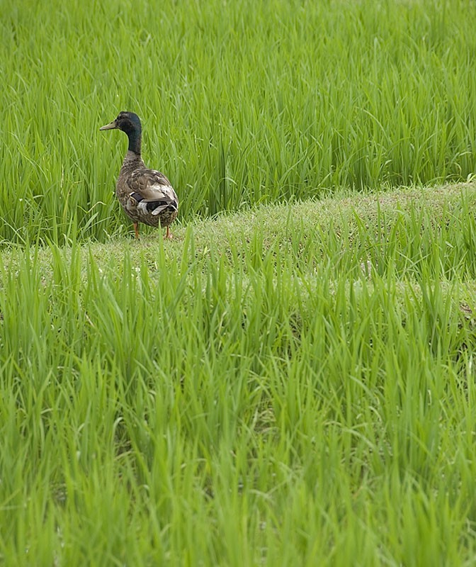 A duck in the rice paddy.