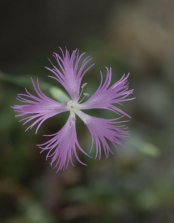 A small flower at Koko-en.