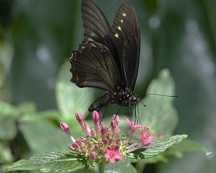 A butterfly dancing on a flower.