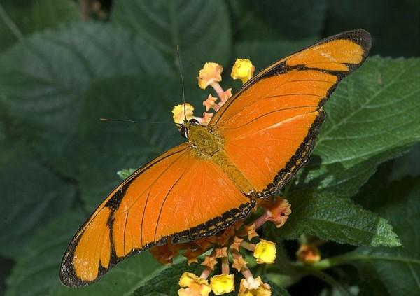 A Julia butterfly.
