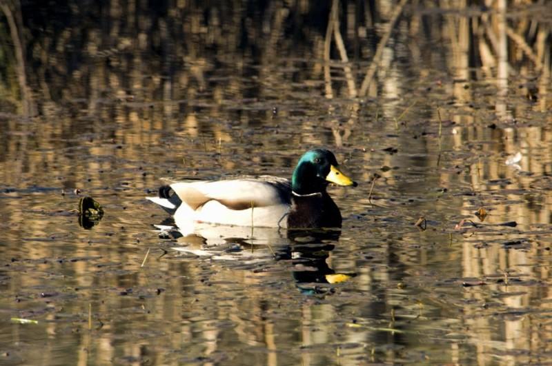 A mallard on a pond.