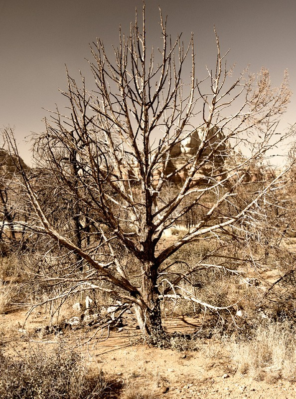 A tree on Brin's Mesa burned by the 2006 fire.