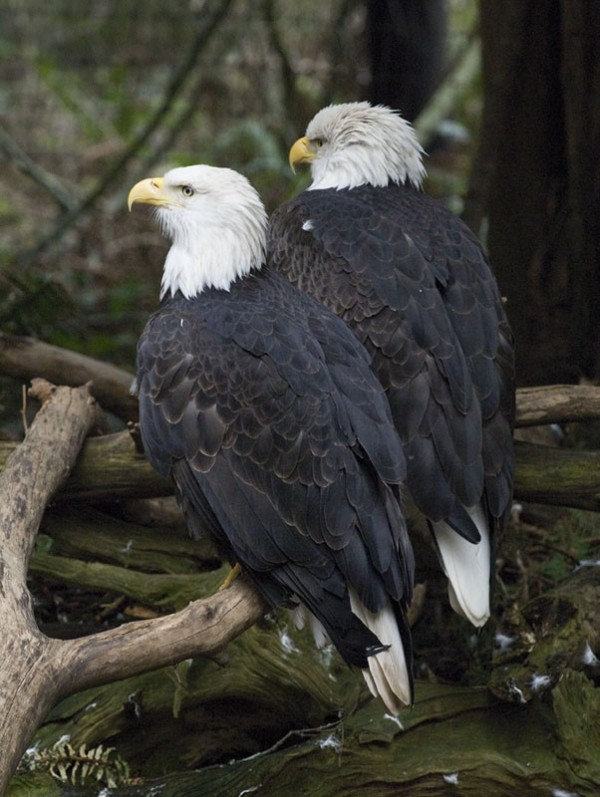 A pair of bald eagles.