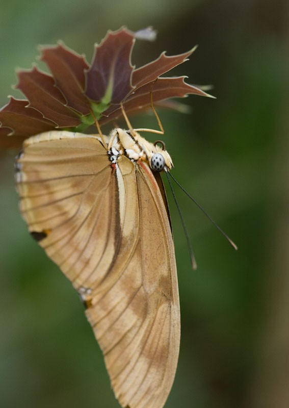 A butterfly hanging from a leaf.