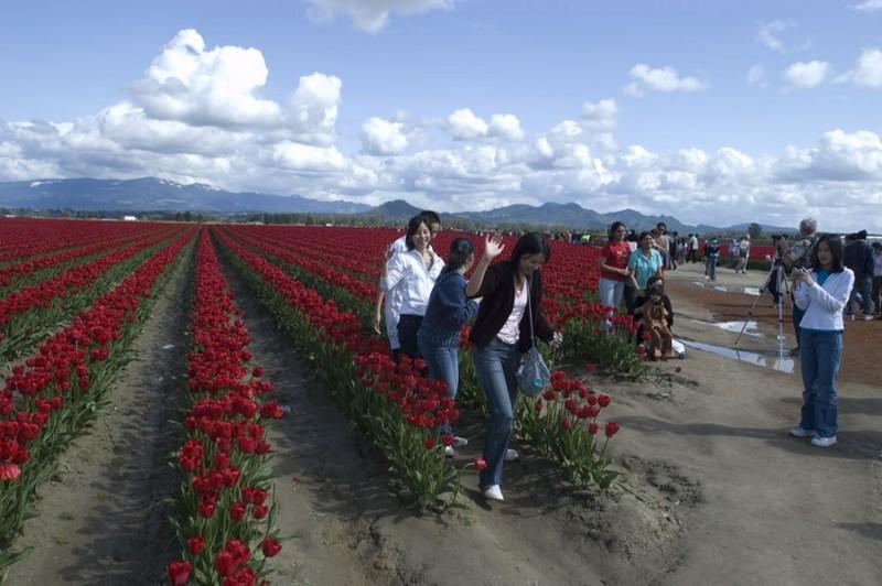 Tulip fields in spring.