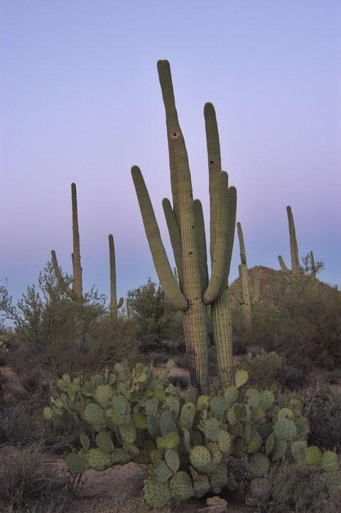 A saguaro in predawn light.