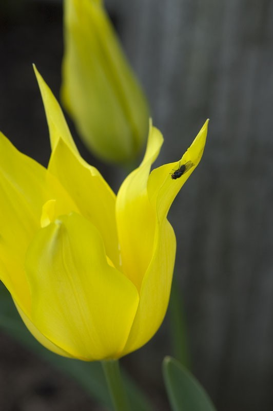 A yellow tulip.