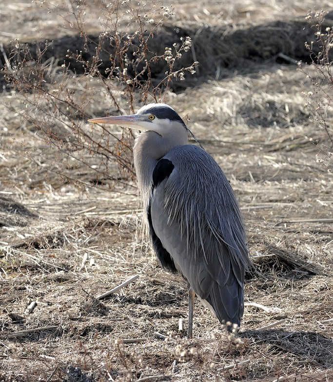 A heron standing on one leg.