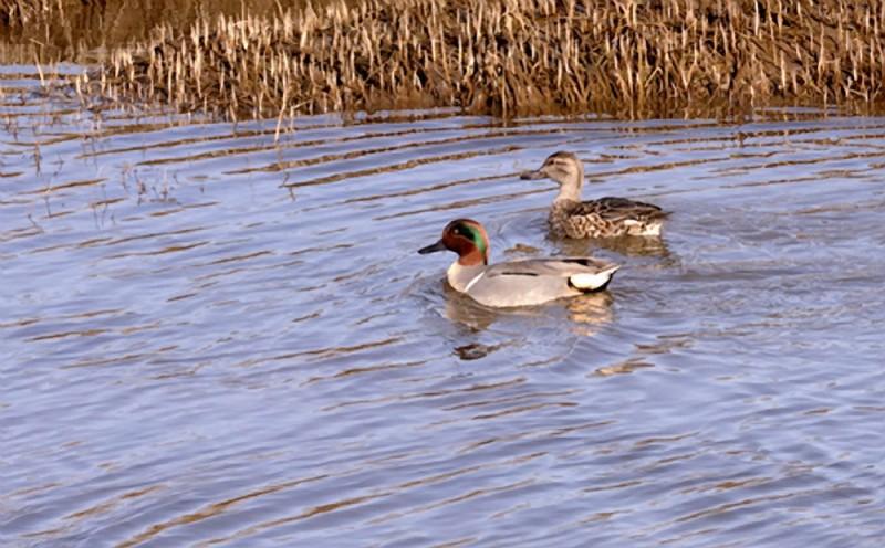 A pair of ducks.