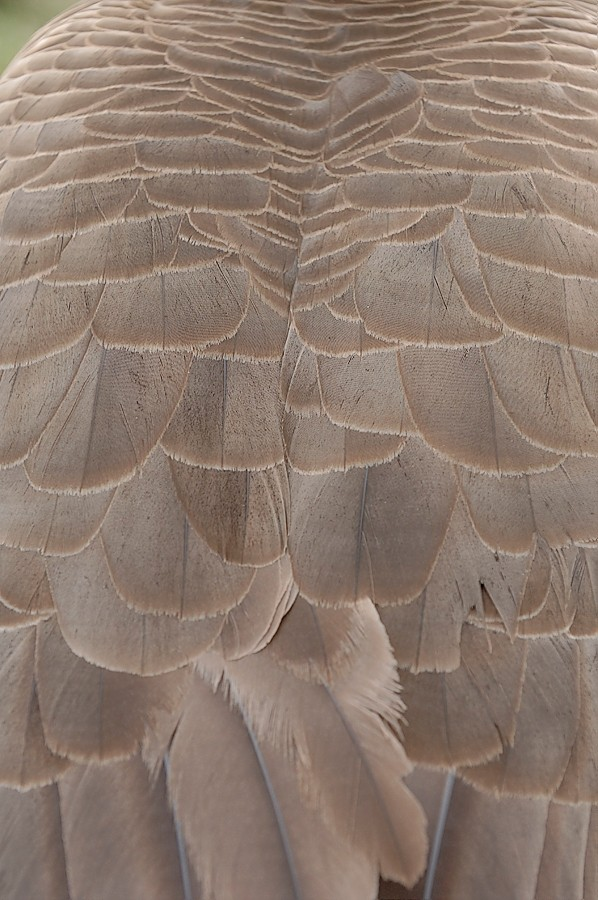 Goose feathers.