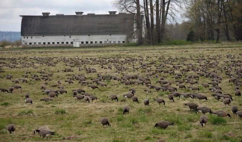Geese grazing.