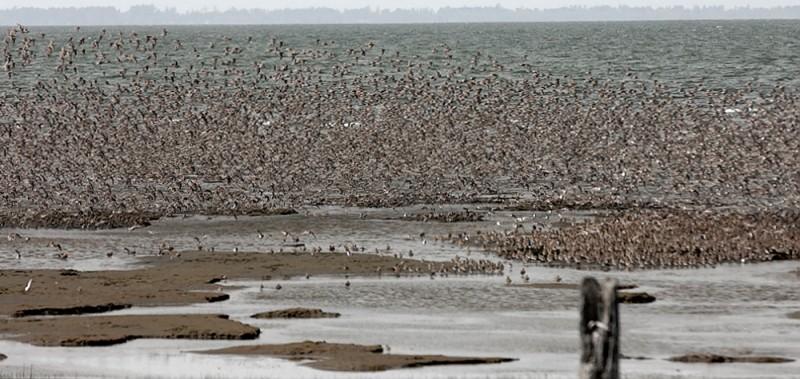 Shore birds flying.