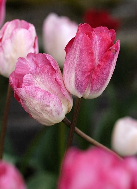 Two tulips embracing.