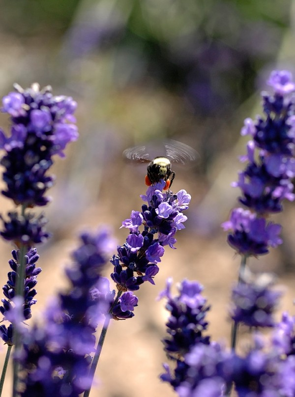 A bee on lavender