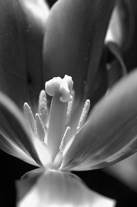 A tulip in B&W.