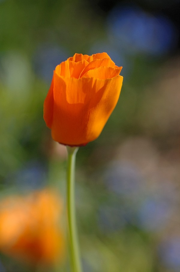 An orange poppy.