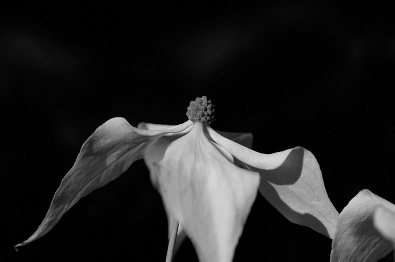 A white dogwood blossom.