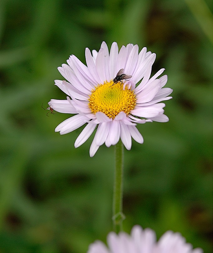 A spider and fly on a sub alpine daisy.
