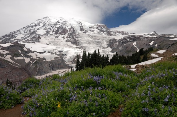 Lupin blooming with Mt Rainier in the background.