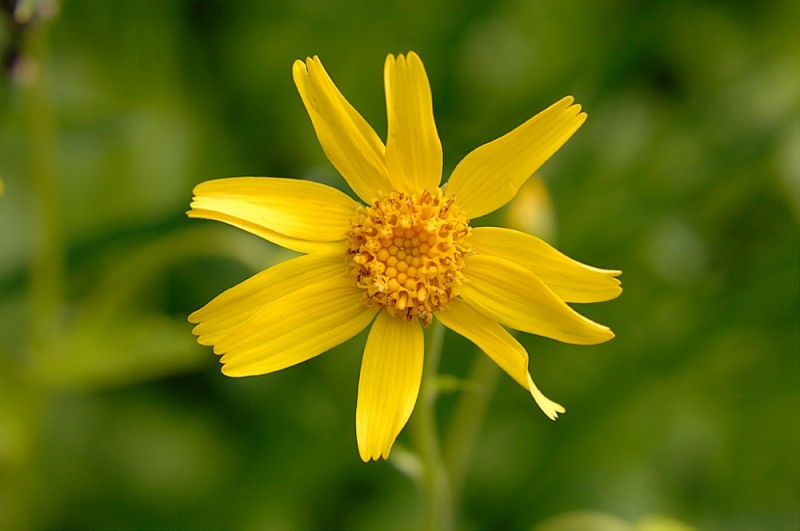 A yellow flower blooms on Mt Rainier.