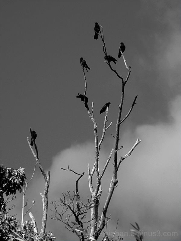 Crows gather as a hawk observes.