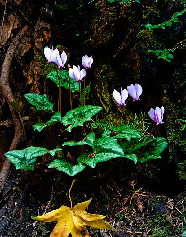 Cyclamen at the Bloedel Reserve.