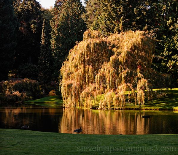 A weeping willow at Bloedel Resreve.
