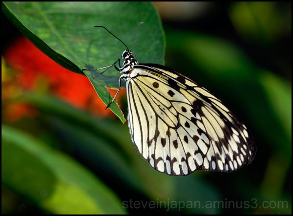 A Rice Paper butterfly on a leak.